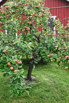 Miten ja milloin vanhoja omenapuita voisi leikata? Lue Viherpihan asiantuntijan ohjeet hedelmäpuiden leikkaamiseen!