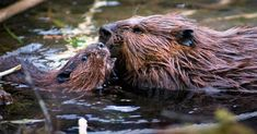 Pennsylvania's Success Stories Include Several Furry Forest Animals - Animals wild, Animals cutest, Animals funny, Animals drawings Beaver Trapping, Salmon Species, Habitat Destruction, Beaver Dam, River Otter, Water Pollution, Wildlife Conservation, Forest Animals, Endangered Species