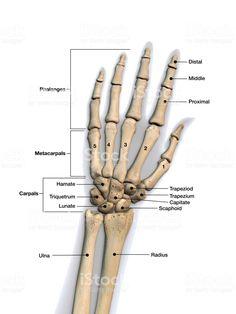 Skeletal bones of wrist and hand with labeling. - health - Left Hand and Wrist Bones Labeled on White Background royalty-free stock photo - Hand Bone Anatomy, Anatomy Bones, Brain Anatomy, Human Body Anatomy, Medical Anatomy, Human Anatomy And Physiology, Upper Limb Anatomy, Human Skeleton Anatomy, Human Body Systems