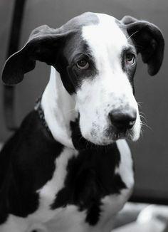 Great Dane ✪✪✪ http://cutepetsnow.tumblr.com ✪✪✪