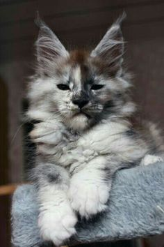 This Maine Coon beauty... I'd name him Erik, because he looks like he wears a mask like Erik, the Phantom of the Opera. ~@guntotingkafir