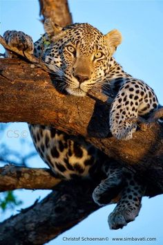 A leopard near the Simbavati River Lodge, Kruger National Park. www.southafrica.net