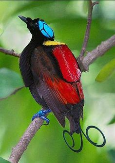 Wilson's bird-of-paradise, Indonesian endemic, distributed to the hill & lowland rainforests of Waigeo & Batanta Islands of West Papua.
