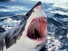 Мусульманки обязаны делать это мужу каждый день Shark Photos, Great White Shark Pictures, Shark Images, Galactik Football, Shark Jaws, Under The Ocean, Fish Sculpture, The Great White, Time Tattoos