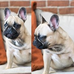 """""""What do you mean NO MORE BACON!?.....I can't even..."""", Maximush, the French Bulldog can't EVEN right now, by @maximusthefrenchie on instagram."""