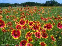 Indian Blanket daisy field, Oklahoma's state flower.