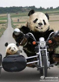 Panda / funny-ha-ha