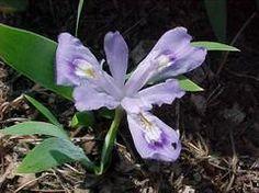 Iris cristata - Dwarf Crested Iris: Full sun, medium water.  Low blooms in April. PLANT IN FALL.