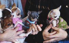 Dressing Doggy Up For Halloween Apple Head Chihuahua, Long Haired Chihuahua, Chihuahua Puppies, Chihuahuas, Yorkies, Chihuahua Breeders, Chiwawa, Boston Terrier, French Bulldog