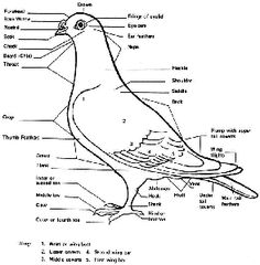Parts of a pigeon: Utility: Raised for meat production (e.g., Carneau, Kings, Hungarians, Mondains)