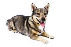 Swedish Vallhund   breed standard
