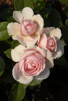 "Rosa ""Geoff Hamilton"""