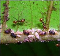 Treehoppers, seen here guarding their young, share a symbiotic relationship with