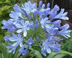 Flores e Jardins: Agapanto