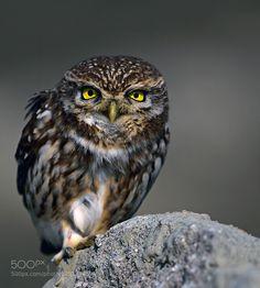 Little Owl #PatrickBorgenMD