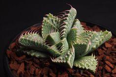 Faucaria tigrina (Tiger Jaws) Succulent plant Display in 80mm pot