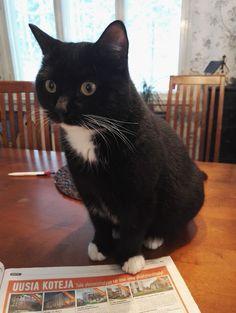 Kananlennon kissa Hemingway eli Hemppa