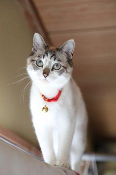 Shironeko's little buddy Kuro is growing up to be a very beautiful cat.