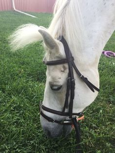 Cute pony eating sweet Grass. The ponies name is Ghost. He is very cute and handsome. He is boarded at Waredaca and he is going to do intro A