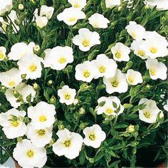 Sablin Arenaria montana mountains Blizzard TM compact - grow in pot $3.90 Montana, Compact, Gardens, Buxus, Rose Bush, Bamboo, Plant, Flathead Lake Montana