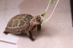 the whimsy turtle — Garden Feast, Part 1 (Parts 2 and My. Pet Turtle, Turtle Love, Cute Reptiles, Reptiles And Amphibians, Animals And Pets, Funny Animals, Cute Animals, Cute Animal Photos, Funny Animal Pictures