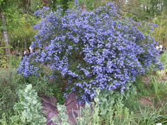 Ceanothus: This California native is blooming right now.  It looks great when pruned as a hedge too!