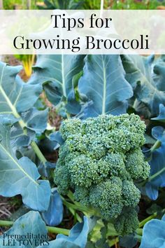 Here are some tips for Growing Broccoli in Your Garden including how to grow broccoli from