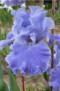 "Tall Bearded Iris ""Going Blue"""