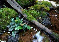 #anubias #nature #okkiesuharto