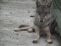 young female wolf, sister of young male wolf