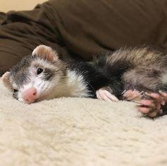 Miss my ferrets:(