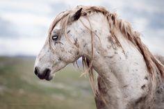 Warrior - Wild stallion of Bosnia. - Wiebke Haas