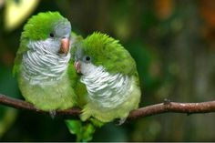 Nature sounds: Parakeets Singing, Talking, Chirping, kissing each other. Relaxing Videos, Sounds of nature. Budgies talking to each other. Pretty Birds, Love Birds, Beautiful Birds, Animals Beautiful, Cute Animals, Green Birds, Beautiful Butterflies, Pacific Parrotlet, Monk Parakeet