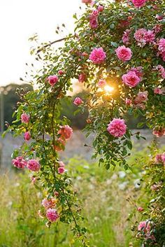 Roses at the edge of a meadow.