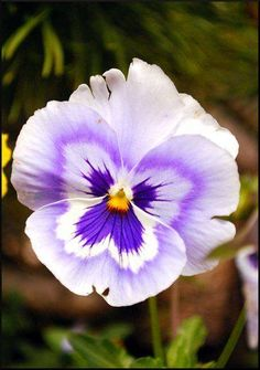 Beautiful Pansy !