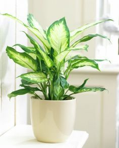 Zimmerpflanzen Poisonous houseplants - 20 poisonous plants you should know # easy-care indoor Inside Plants, Cool Plants, Water Plants, Sun Plants, House Plants Decor, Plant Decor, Easy House Plants, Low Maintenance Indoor Plants, Decoration Plante