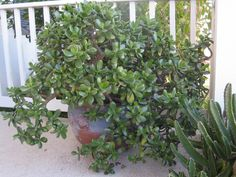 Jade Plant (Crassula argentea)