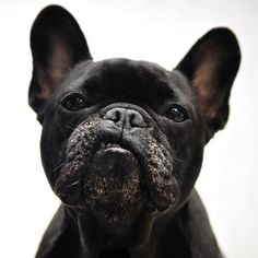 :: PHOTOGRAPHY :: i love my teddy but this guy has me crushing too. great dog portrait. If you know who the original source is, please let me know. #photography