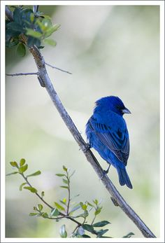 I believe this is an indigo bunting. I saw one the other day here in Virginia.  Is that possible? I had never seen one before.  And now today here is one on Pinterest.