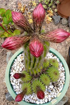 TRICHOCEREUS HUASHA PINKISH FORM IN BUD. MAGNIFICENT.