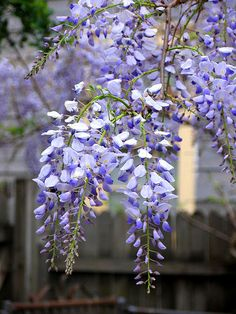 Wisteria, this should be the year ours starts to bloom.