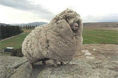 Shrek the sheep escaped from a farm in New Zealand and spent six years unshorn.