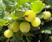 Gooseberries -  close relative of currants, rich in antioxidant polyphenolics and vitamins.