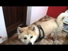 ▶ Razas de Perros Akita Americano | El Akita americano en Razas de Perros - YouTube
