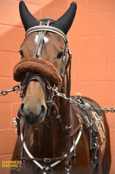Meadowlands Standardbred Horse, Harness Racing, Western Pleasure, Majestic Horse, Beautiful Gorgeous, Horse Racing, Equestrian, Horses, Animals