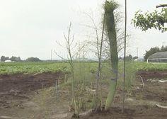 北海道の「巨大アスパラガス」がさらに巨大化していた…!「もはやアスパラではなくて木だな」 - Togetterまとめ