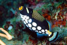Types of Tropical Fish | Tropical fish and aquarium information about saltwater species, fish ...