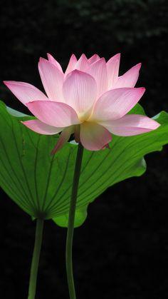 Amazing Lotus