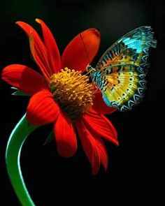 Blue Butterfly vibrant Red Flower <3
