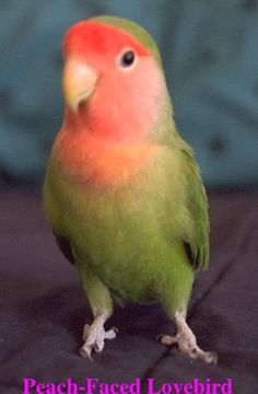 Lost Lovebird Parrot / Bird Morris Heights, Bronx, New York, NY, United States - Cute Birds, Small Birds, Little Birds, Colorful Birds, Animals And Pets, Cute Animals, Amor Animal, Budgies, Parrots